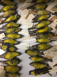 Eastern Yellow Robins of the Australian Museum collection