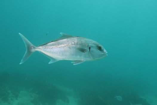 Samsonfish at Shelly Beach, Sydney