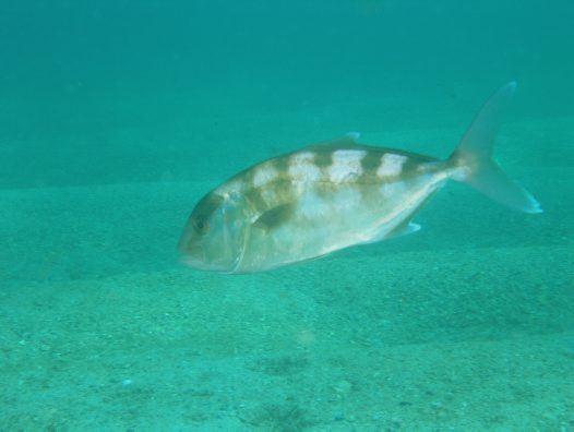 Samsonfish at Shelly Beach