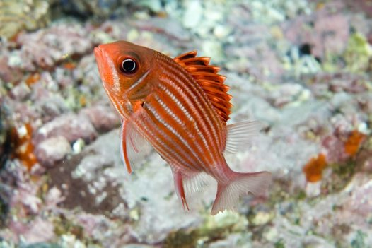 Samurai Squirrelfish at North West Solitary Island