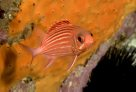 Samurai Squirrelfish at North West Solitary Island, New South Wales