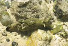Sea Hare Aplysia dactylomela