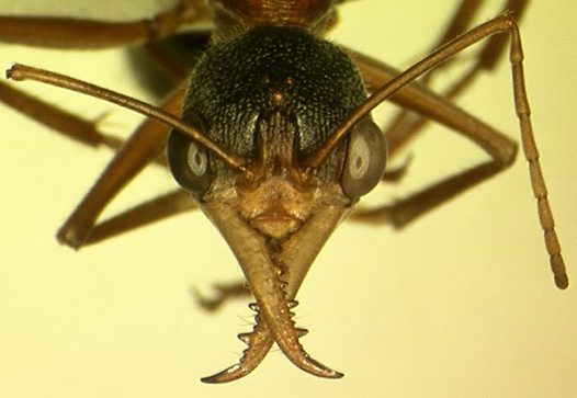 Head of a Bull Ant Myrmecia sp