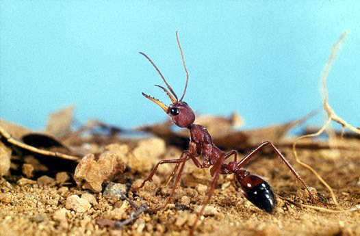 Bull Ant on top of its nest