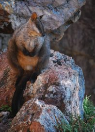 Male brush-tailed rock-wallaby (Petrogale penicillata)