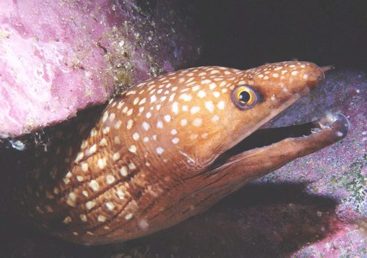 Saw-tooth Moray at Montague Island