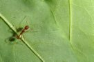 Funnel Ant walking along leaf
