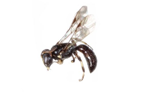Masked Bee specimen from side