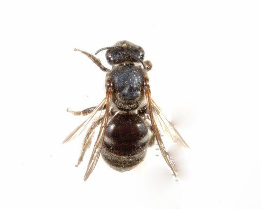 White Banded Bee Specimen