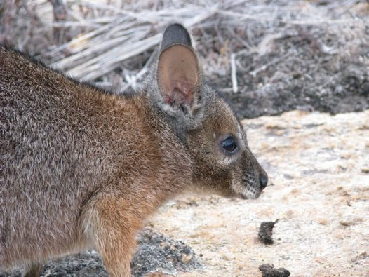 A Tammar Wallaby on North Twin Peak Island, Western Australia