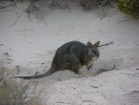Tammar Wallaby digging for food on Abrolhos Islands, Western Australia