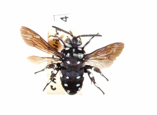 Specimen of a Cuckoo Bee