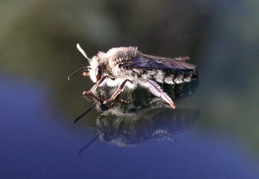 Leafcutter Bee Megachile sp