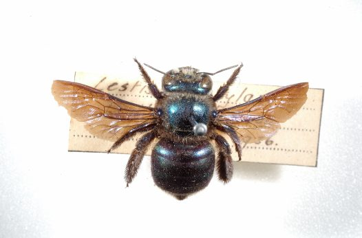 Peacock Carpenter Bee specimen