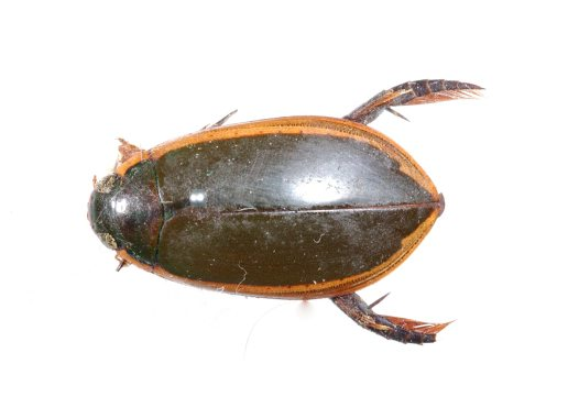 Three-punctured Diving Beetle