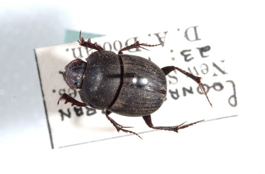 Flat African Dung Beetle