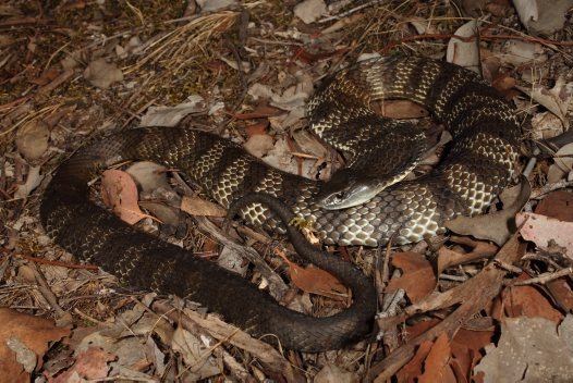How the Tiger Snake got its Stripes