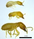Three different Australian termite species