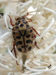 Punctate Flower Chafer Beetle