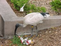 Australian White Ibis foraging in a city park