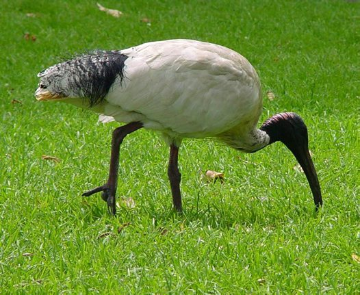 Australian White Ibis searching for natural foods in a park