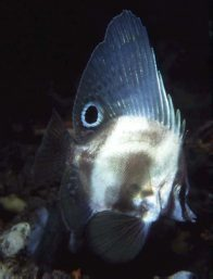 Short Boarfish at Port Giles Jetty