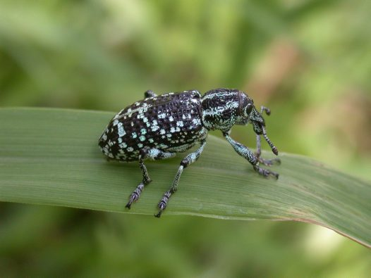 Botany Bay Weevil on leaf