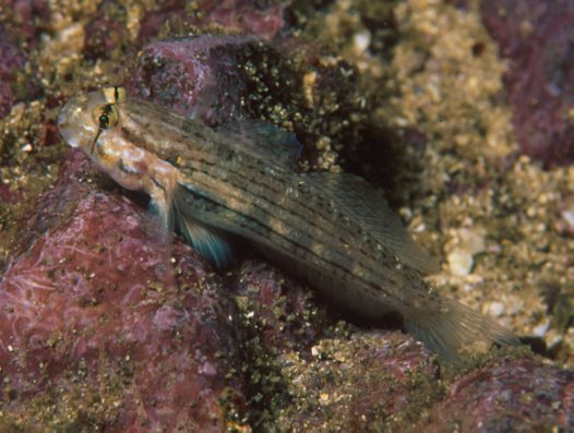A Shoulderspot Goby at North Solitary Island