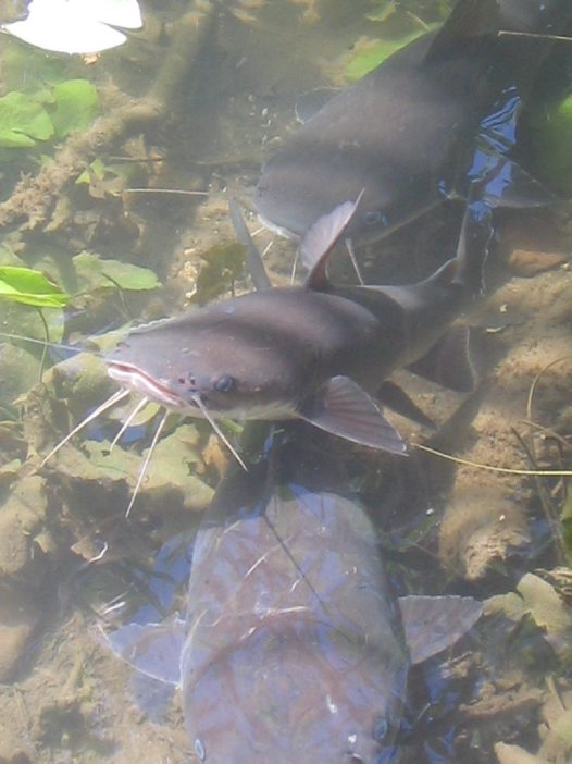 Shovelnose Catfish at Lawn Hill Gorge