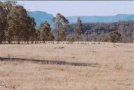 Mob of Eastern Grey Kangaroos