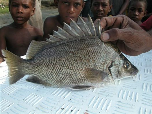 A Silver Grunter caught at Papua New Guinea