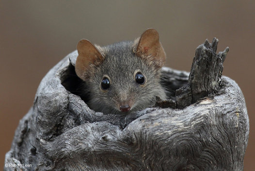 'Peekaboo' - Yellow-footed antechinus, Antechinus flavipes