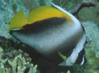 A Singular Bannerfish at Osprey Reef, Coral Sea