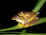 Red-webbed Flying Frog in amplexus