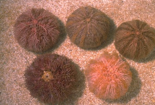 A group of Pink Sea Urchins