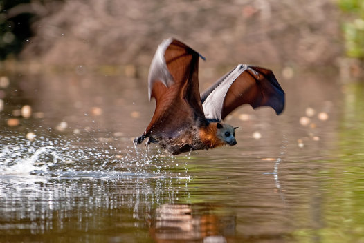 Flying Fox bellydipping | © Nick Edards