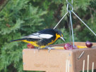 An out of place Black-backed Oriole in Pennsylvania, USA