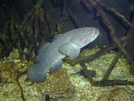 Sinuous Gudgeon in an aquarium