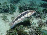 A Snakeskin Wrasse at Gordon's Bay