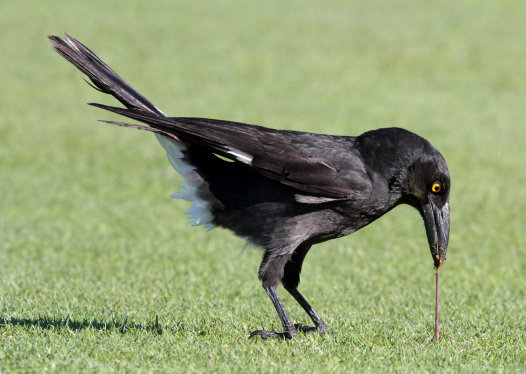 Pied Currawong winning over a worm