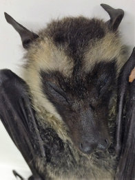 View of the head of an unusual species of Flying-Fox