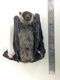 Ventral view of an unusual species of Flying-Fox
