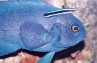 A Southern Blue Devil in an aquarium