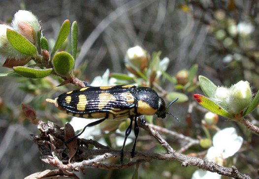 Jewel Beetle on twig