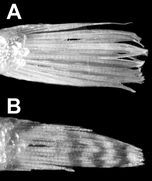 Caudal fins of Southern Gurnard Perch and Whitley's Gurnard Perch