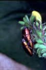 Jewel Beetles