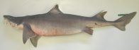 A Mandarin Shark caught south-east of Green Cape