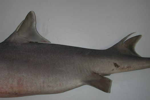 Mandarin Shark dorsal fin spines - Australian Museum