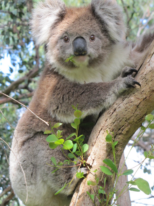 Wild koala eating while climbing a tree in French Island, Victoria