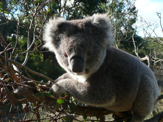 A wild koala from French Island posing for a photo
